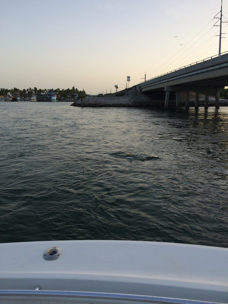Islamorada fishing report for the week of august 3rd 2015 for Islamorada florida fishing