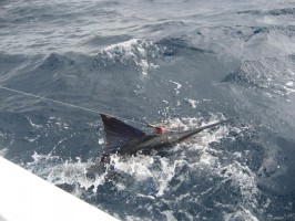 Hooking a Marlin during a fishing charter party in Islamorada Florida